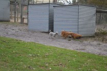 BeeBee-Moodle-Banksia Park Puppies - 27 of 33