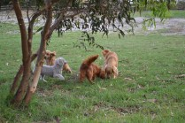 BeeBee-Moodle-Banksia Park Puppies - 30 of 33