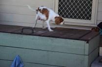 Bess-Cavalier-Banksia Park Puppies - 17 of 32