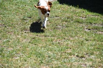 Bess-Cavalier-Banksia Park Puppies - 23 of 32
