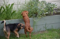 Bobby-Cavalier-Banksia Park Puppies - 14 of 24
