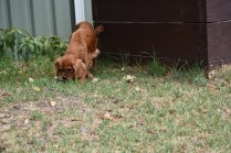 Bobby-Cavalier-Banksia Park Puppies - 18 of 24