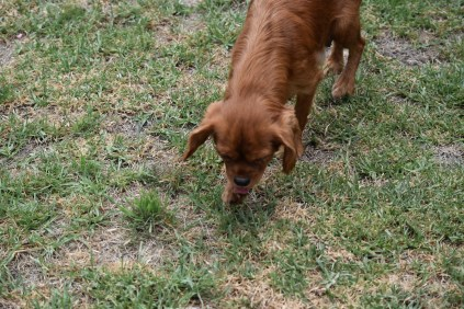 Bobby-Cavalier-Banksia Park Puppies - 21 of 24
