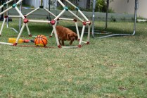 Bobby-Cavalier-Banksia Park Puppies - 8 of 24