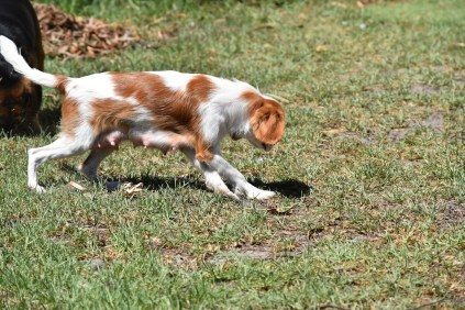 Bubble-Cavalier-Banksia park Puppies - 12 of 28