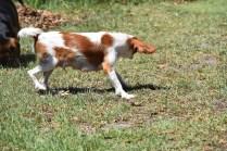 Bubble-Cavalier-Banksia park Puppies - 13 of 28