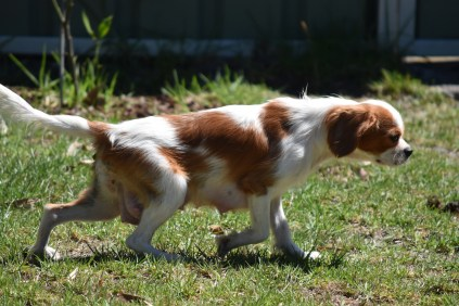 Bubble-Cavalier-Banksia park Puppies - 23 of 28