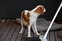 Bubble-Cavalier-Banksia park Puppies - 27 of 28