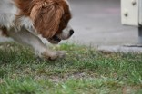 Dainty-Cavalier-Banksia Park Puppies - 23 of 24