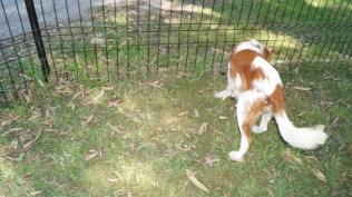 Demi-Cavalier-Banksia Park Puppies - 24 of 25