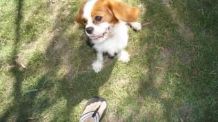 Dreamy-Cavalier-Banksia Park Puppies - 10 of 31