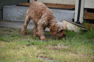 Gracie-Cavoodle-Banksia Park Puppies - 10 of 33