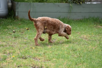Gracie-Cavoodle-Banksia Park Puppies - 12 of 33