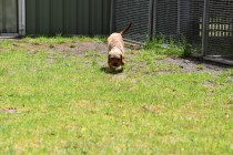 Gracie-Cavoodle-Banksia Park Puppies - 16 of 33