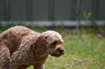 Gracie-Cavoodle-Banksia Park Puppies - 20 of 33
