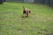 Gracie-Cavoodle-Banksia Park Puppies - 5 of 33