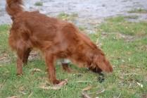 Heaven-Cavoodle-Banksia Park Puppies - 18 of 22