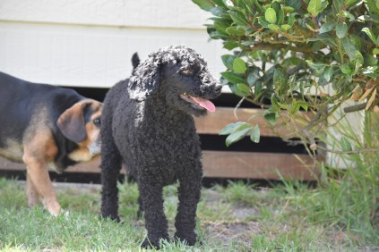 Minya-Poodle-Banksia Park Puppies - 25 of 26