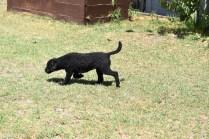 Minya-Poodle-Banksia Park Puppies - 3 of 26