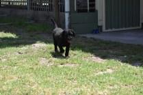 Minya-Poodle-Banksia Park Puppies - 7 of 26