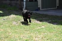 Minya-Poodle-Banksia Park Puppies - 8 of 26