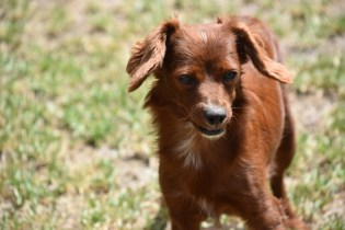 Muppet-Cavoodle-Banksia Park Puppies - 13 of 27