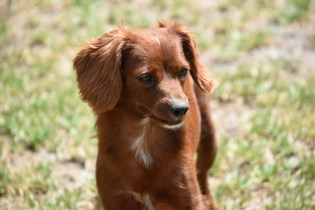 Muppet-Cavoodle-Banksia Park Puppies - 14 of 27