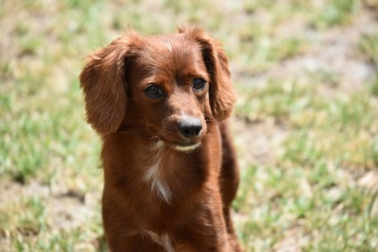 Muppet-Cavoodle-Banksia Park Puppies - 15 of 27