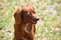 Muppet-Cavoodle-Banksia Park Puppies - 17 of 27