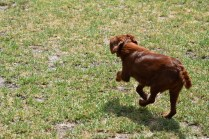 Muppet-Cavoodle-Banksia Park Puppies - 9 of 27