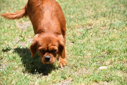 Neta-Cavalier-Banksia Park Puppies - 10 of 42