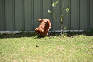 Neta-Cavalier-Banksia Park Puppies - 11 of 42