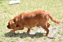 Neta-Cavalier-Banksia Park Puppies - 17 of 42