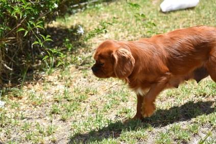 Neta-Cavalier-Banksia Park Puppies - 21 of 42