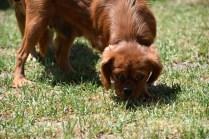 Neta-Cavalier-Banksia Park Puppies - 26 of 42