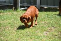 Neta-Cavalier-Banksia Park Puppies - 3 of 42