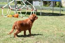Neta-Cavalier-Banksia Park Puppies - 30 of 42
