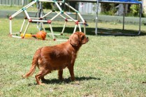 Neta-Cavalier-Banksia Park Puppies - 31 of 42