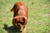 Neta-Cavalier-Banksia Park Puppies - 7 of 42