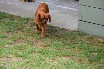 Noni-Cavalier-Banksia Park Puppies - 5 of 25