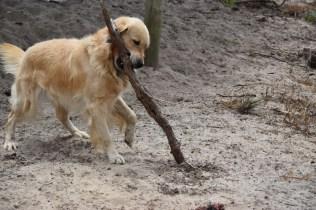 Oscar-Golden Retriever-Banksia Park Puppies - 12 of 41