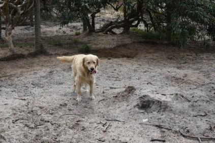 Oscar-Golden Retriever-Banksia Park Puppies - 19 of 41
