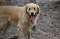 Oscar-Golden Retriever-Banksia Park Puppies - 23 of 41