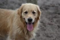 Oscar-Golden Retriever-Banksia Park Puppies - 27 of 41