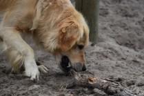 Oscar-Golden Retriever-Banksia Park Puppies - 29 of 41