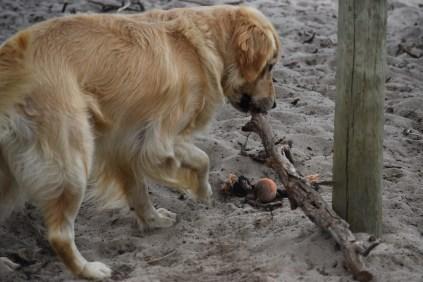 Oscar-Golden Retriever-Banksia Park Puppies - 33 of 41