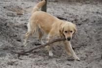 Oscar-Golden Retriever-Banksia Park Puppies - 36 of 41