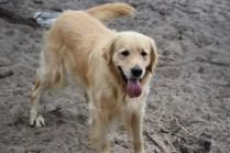 Oscar-Golden Retriever-Banksia Park Puppies - 39 of 41