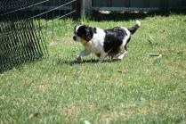 Petunia-Cavalier-Banksia Park Puppies - 15 of 34