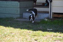 Petunia-Cavalier-Banksia Park Puppies - 19 of 34